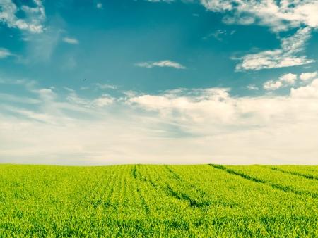 field crop: Beautiful crop field on blue cloudy sky