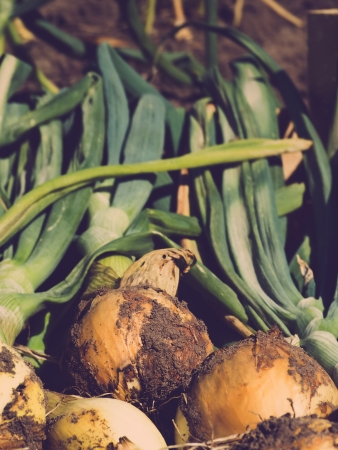 homegrown: Homegrown onions in vegetable garden, vintage toned