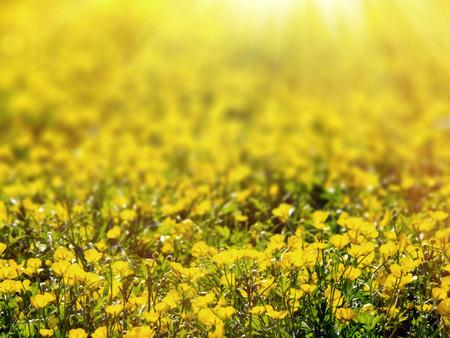 buttercup flower: Buttercup flower field, selective focus