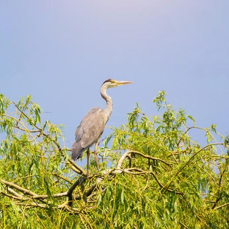 grey heron: Grey heron in tree against clear sky