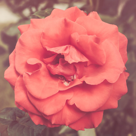 vintage roses: Rose in garden, vintage toned Stock Photo