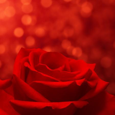 red rose bokeh: Red rose on bokeh background