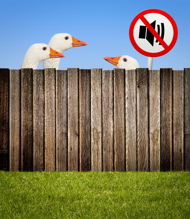 noise pollution: Geese behind wooden fence with no noise sign