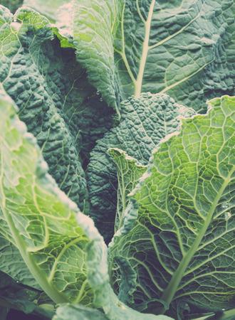 homegrown: Closeup of homegrown kale, toned image Stock Photo
