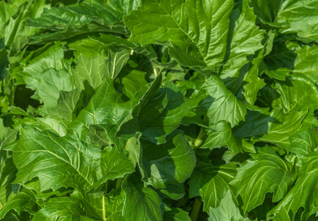 mollis: Acanthus mollis, bears breeches, bearsfoot, oyster plant leaves Stock Photo