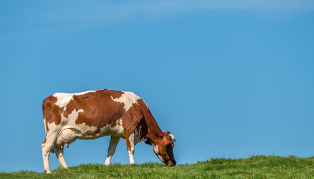 fed: Grass fed cow grazing in field against blue sky