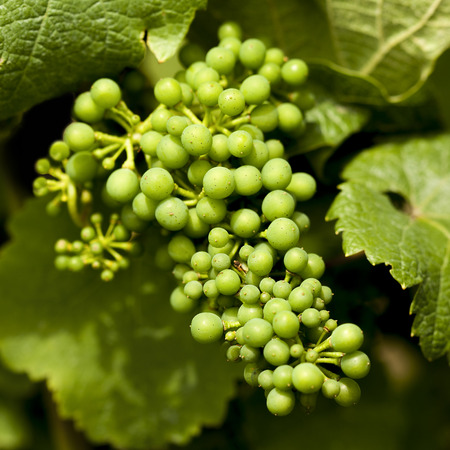 mosel: grapevine , Riesling grapes on the Mosel, germany