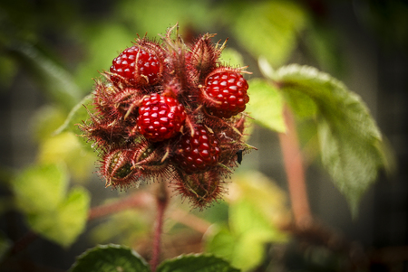 fresh japanese wineberry in spring