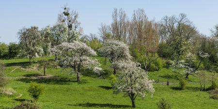 fruit blossom in Belgium, Borgloon