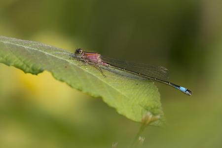 imago: Blue-tailed Damselfly Ischnura elegans male resting on a leaf