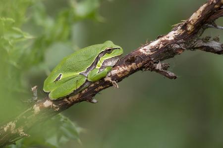 hyla: European Tree Frog Hyla arborea perched on a dead Branch