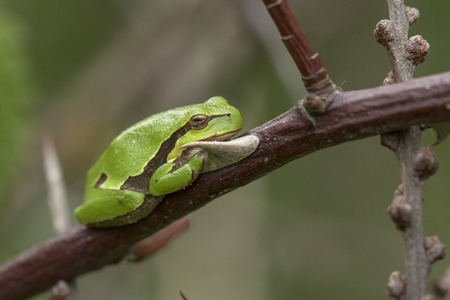 treefrog: European Tree Frog Hyla arborea resting on a branch of a Rose