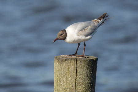 almost: Almost adult Black-headed Gull Chroicocephalus ridibundus standing on a wooden pole