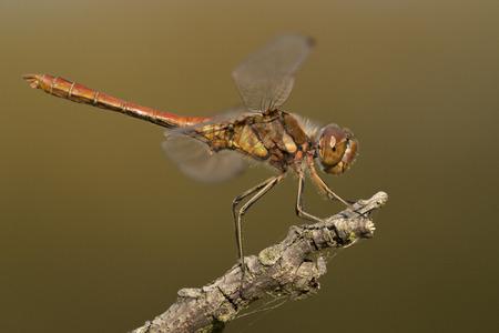 sympetrum: Vagrant Darter Sympetrum vulgatum resting on a dead branch