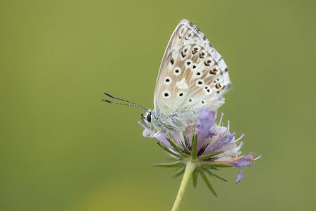 polyommatus: Chalkhill Blue Polyommatus coridon resting on outflowered Field Scabious Knautia arvensis