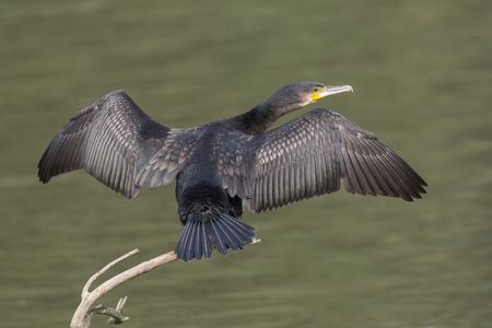 spread wings: Great Cormorant Phalacrocorax carbo drying its feathers with spread wings on a branch above the water Stock Photo