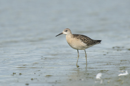 ruff: Juvenile Ruff Philomachus pugnax standing in shallow water at the Inlaag Keihoogte near Wissenkerke, Zeeland, The Netherlands