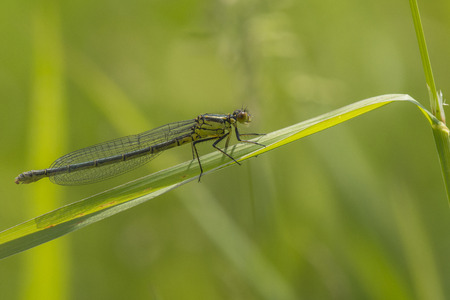 variable: Variable Bluet Coenagrion pulchellum resting on a grass-stalk