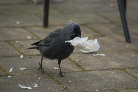 jackdaw: European Jackdaw Coleus monedula collecting paper as Nestmaterial on a terrace