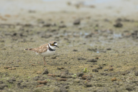 plover: Little Ringed Plover Charadrius dubius standing on muddy ground