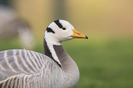 waterbird: Portrait of a Bar-headed Goose Anser indicus Stock Photo