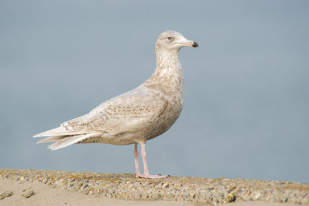waterbird: Glaucous Gull Larus hyperboreus in 3rd Winter Plumage standing on a Pier of a Harbour Stock Photo