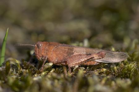 full length herbivore: Blue-winged Grasshopper Oedipoda caerulescens female rsting on Moss