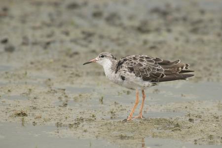 mire: Ruff Philomachus pugnax standing on muddy ground Stock Photo