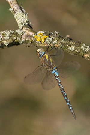 migrant: Migrant Hawker Aeshna mixta male resting on a branch covered with moss and lichen