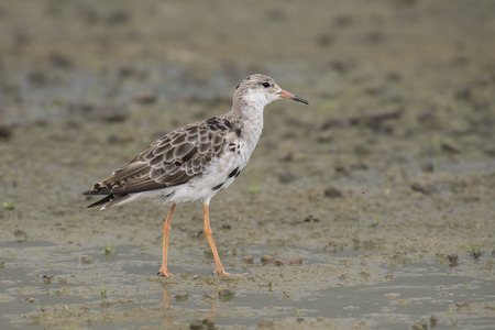 ruff: Ruff Philomachus pugnax standing on muddy ground Stock Photo