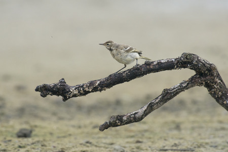 miry: Juvenile Blue-headed Wagtail Motacilla flava perched on a dead branch watching a small unidentified insect