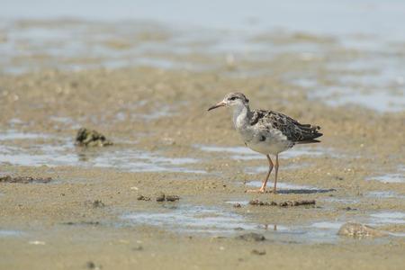 miry: Ruff Philomachus pugnax standing on muddy ground Stock Photo