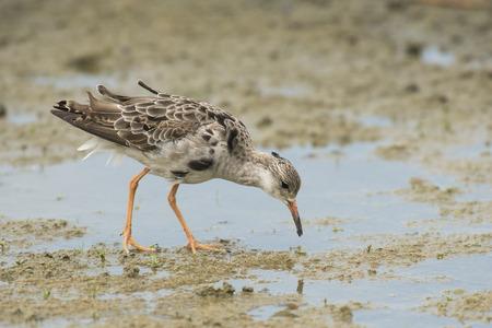 miry: Ruff Philomachus pugnax foraging on muddy ground
