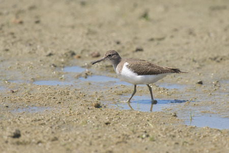 miry: Common Sandpiper Actitis hypoleucos standing on muddy ground in water Stock Photo
