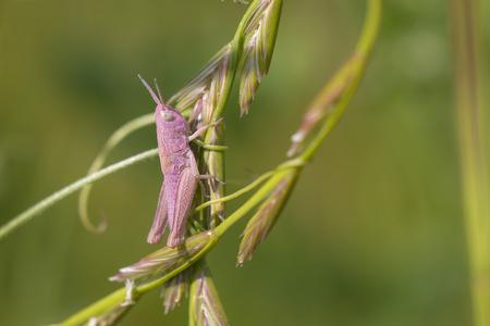 chorthippus: Meadow Grasshopper Chorthippus parallelus climbing on a grass-stalk Stock Photo