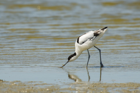 miry: Pied Avocet Recurvirostra avosetta foraging in shallow water at the water front