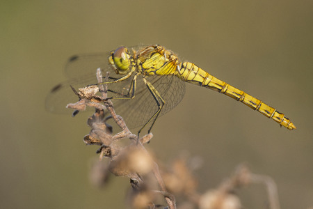 vagrant: Female Vagrant Darter Sympetrum vulgatum resting on a withered branch Stock Photo