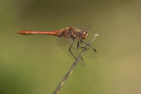 vulgatum: Vagrant Darter Sympetrum vulgatum male resting on a dead branch