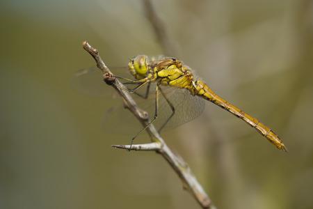 vagrant: Fresh male Vagrant Darter Sympetrum vulgatum resting on a branch