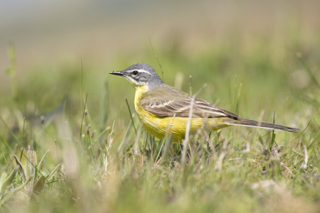 miry: Blue-headed Wagtail Motacilla flava male standing in a meadow Stock Photo