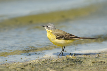 miry: Blue-headed Wagtail Motacilla flava standing on mud at the waterfront Stock Photo
