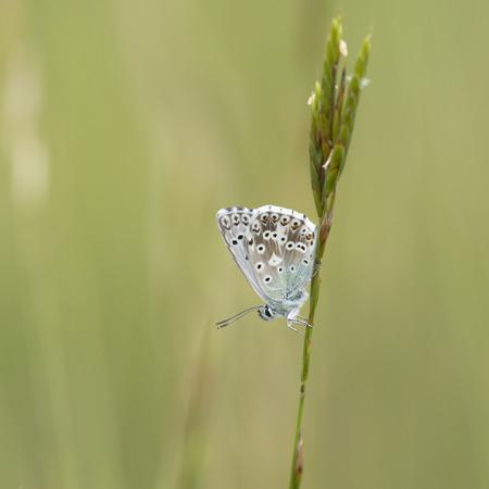 polyommatus: Chalkhill Blue Polyommatus coridon resting on a grass-stalk