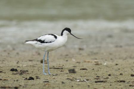 miry: Pied Avocet Recurvirostra avosetta standing on muddy ground
