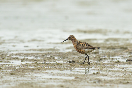 miry: Curlew Sandpiper Calidris ferruginea walking on mud at the waterfront Stock Photo