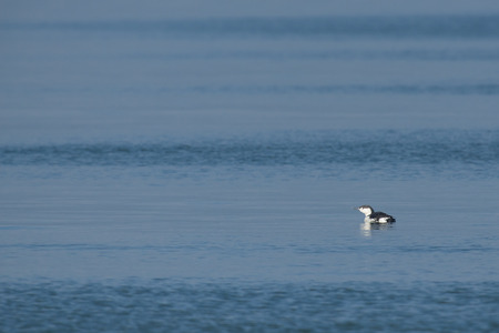 gavia: Red-throated Diver Gavia stellata in winter plumage swimming at the coast