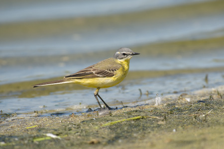 motacilla: Blue-headed Wagtail Motacilla flava standing on mud at the waterfront Foto de archivo