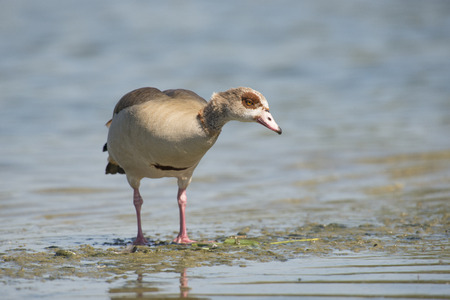 alopochen: Egyptian Goose Alopochen aegyptiacus standing on mud at the waterfront