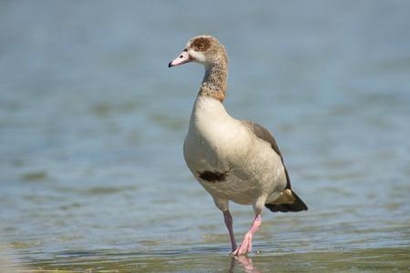 alopochen: Egyptian Goose Alopochen aegyptiacus walking through shallow water Stock Photo