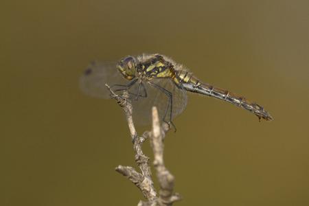 sympetrum: Black Darter Sympetrum danae female resting on a branch Stock Photo