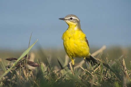 insectivorous: Blue-headed Wagtail Motacilla flava male standing in grass